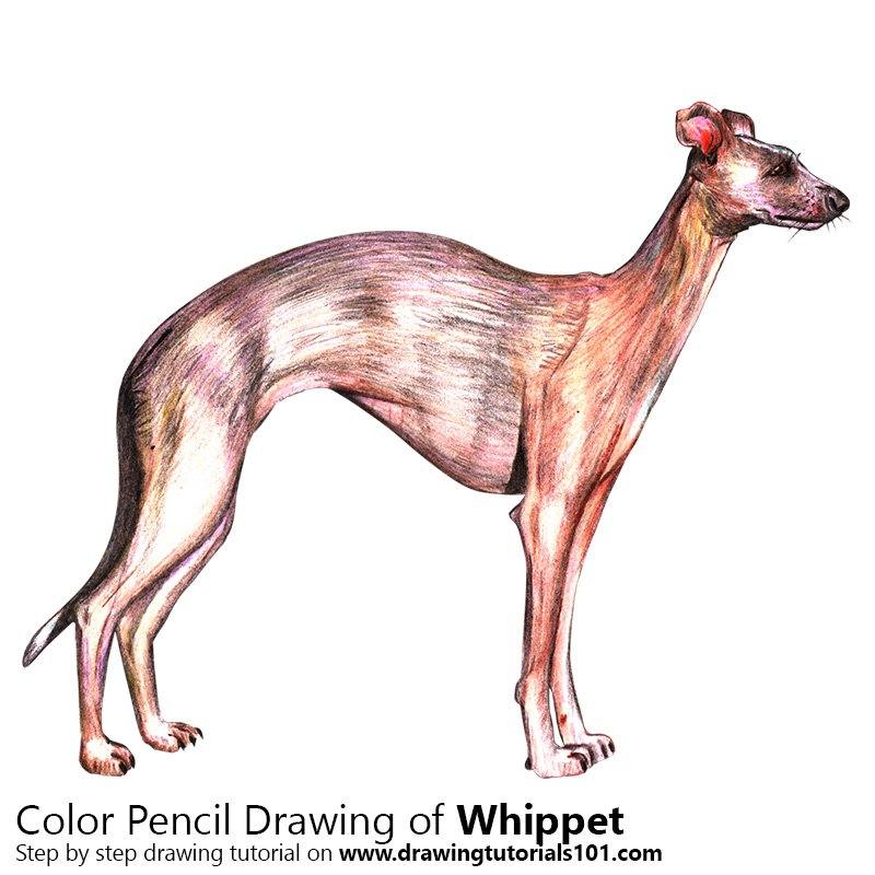 Whippet Color Pencil Drawing