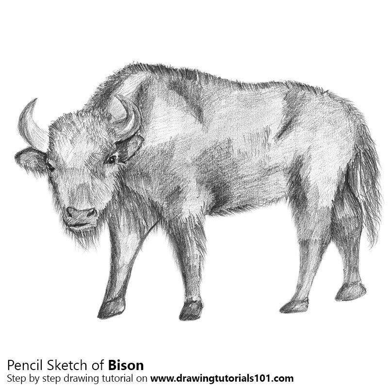 Bison pencil drawing how to sketch bison using pencils drawingtutorials101 com