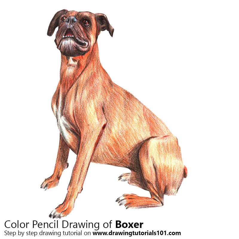 Boxer Dog Color Pencil Drawing