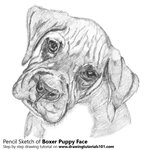 How to Draw Boxer Puppy Face