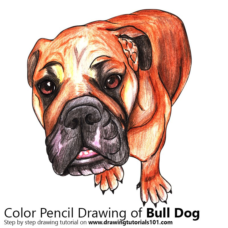 Bull Dog Color Pencil Drawing