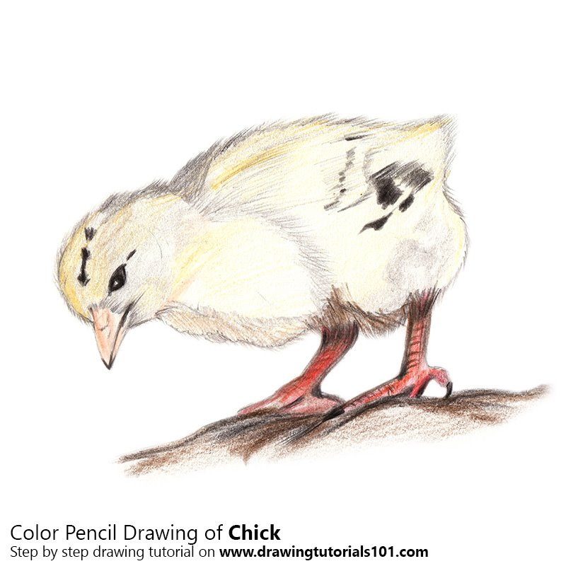 Chick Colored Pencils Drawing Chick With Color Pencils