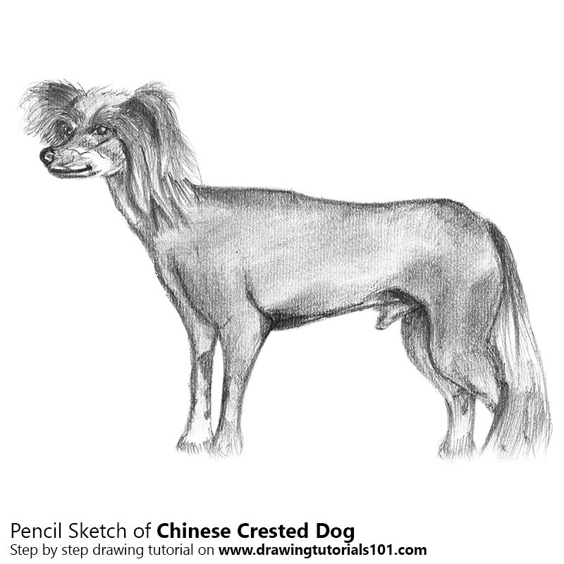 Pencil Sketch of Chinese Crested Dog - Pencil Drawing