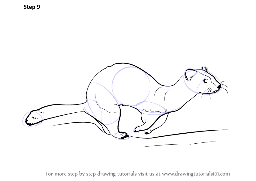 Step by step how to draw a ferret for Ferret coloring pages