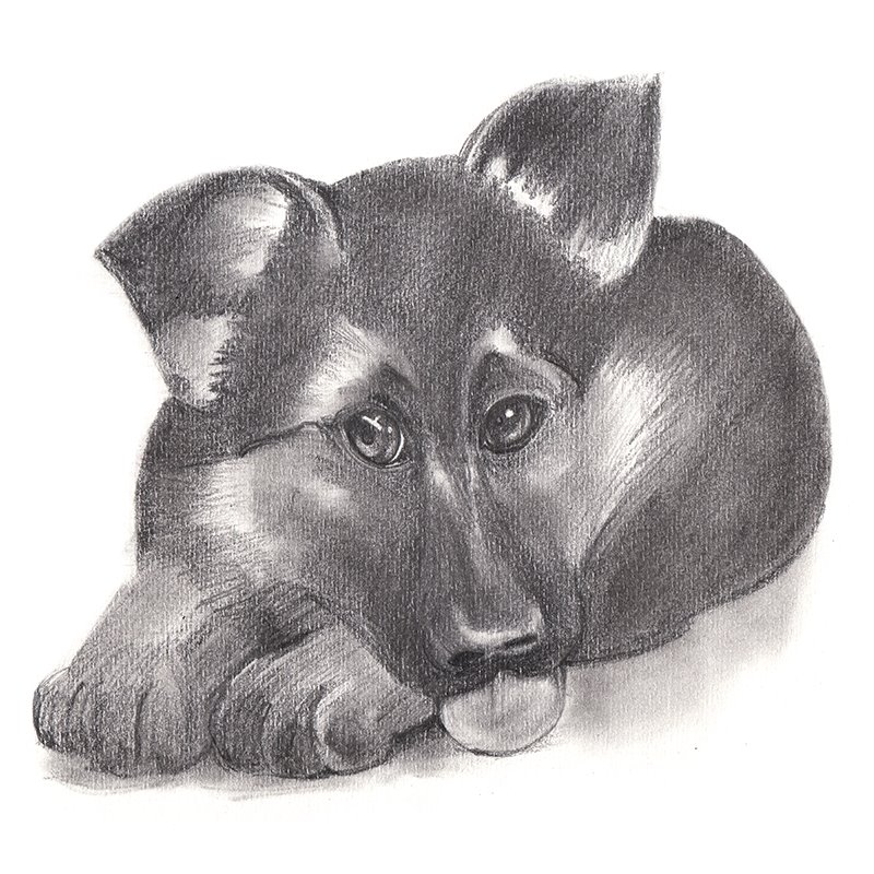 German Shepherd Puppy Pencil Drawing How To Sketch