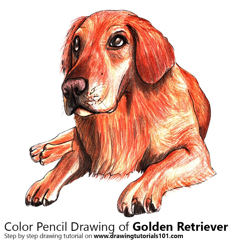 Golden Retriever Color Pencil Drawing