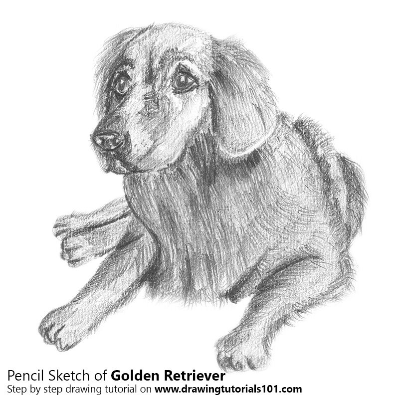 Golden retriever pencil drawing how to sketch golden retriever using pencils drawingtutorials101 com