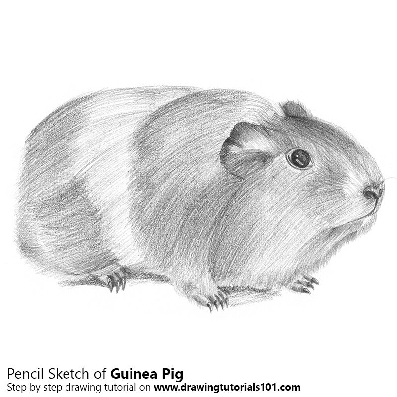 Guinea pig pencil drawing how to sketch guinea pig using pencils drawingtutorials101 com