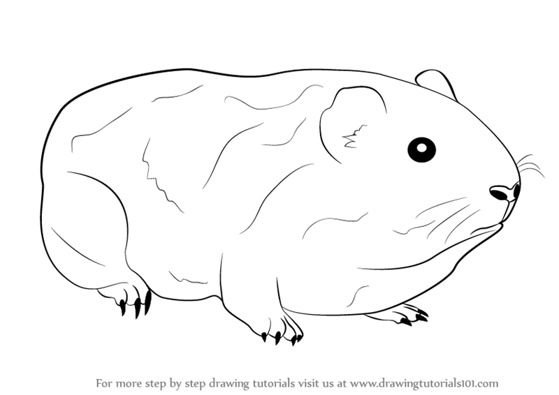 Learn how to draw a guinea pig farm animals step by step drawing tutorials