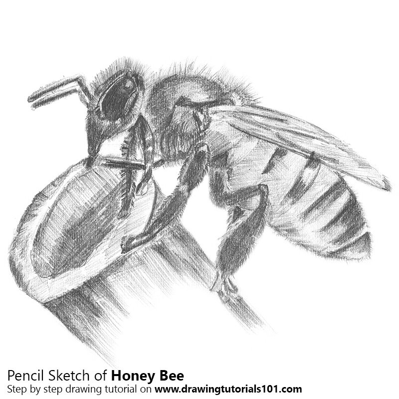 Honey bee pencil drawing how to sketch honey bee using pencils drawingtutorials101 com