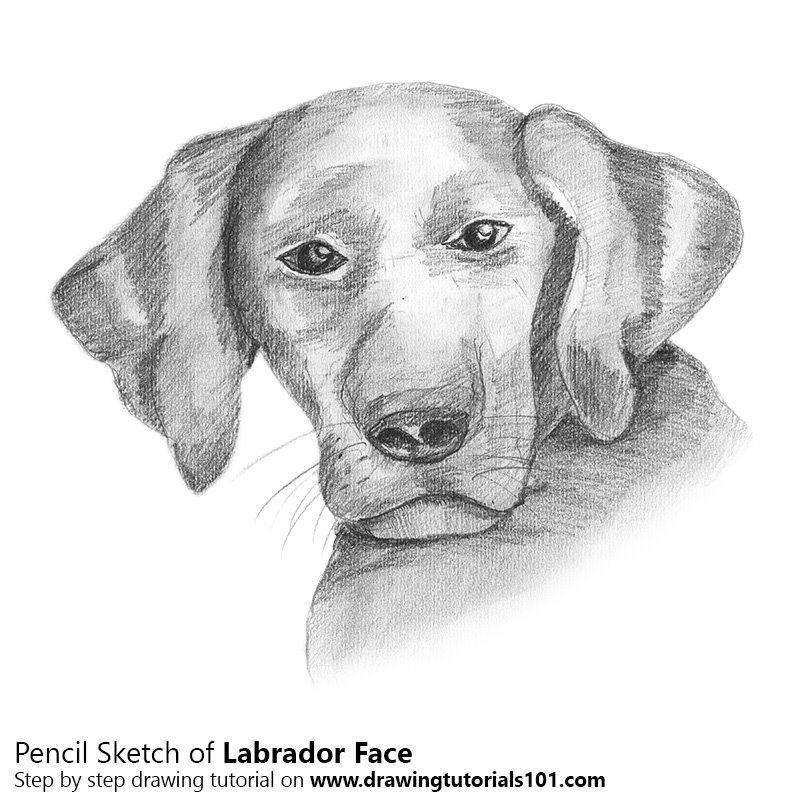 Labrador face pencil drawing how to sketch labrador face using pencils drawingtutorials101 com