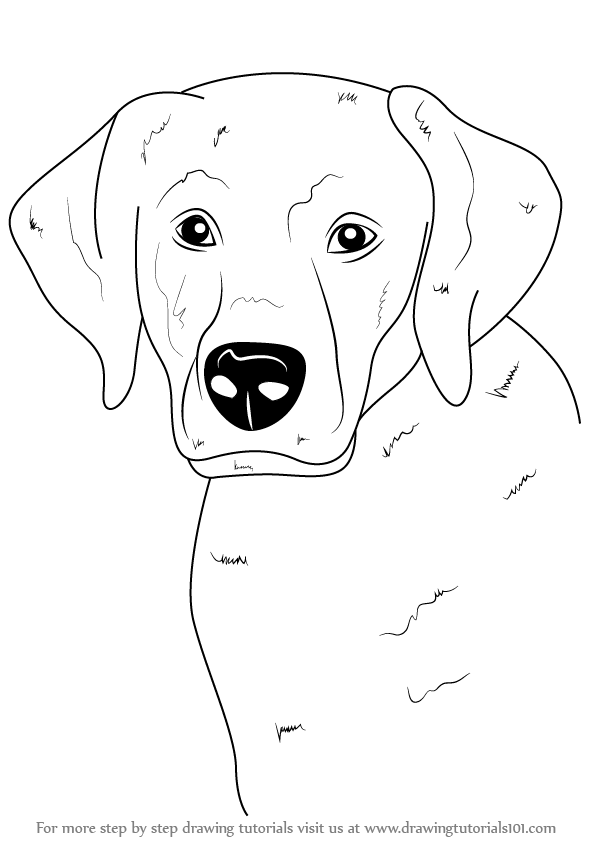 Learn How To Draw A Labrador Face Farm Animals Step By