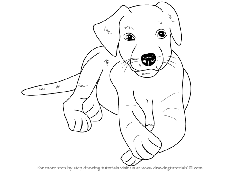 Step by Step How to Draw a Labrador Puppy DrawingTutorials101com