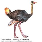 How to Draw a Ostrich