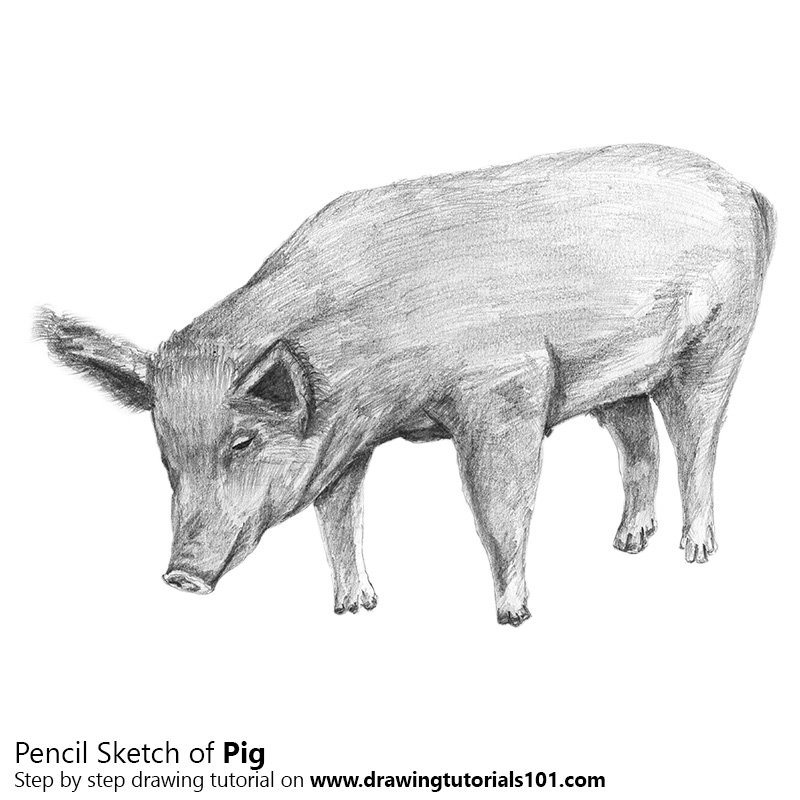 Pig pencil drawing how to sketch pig using pencils drawingtutorials101 com
