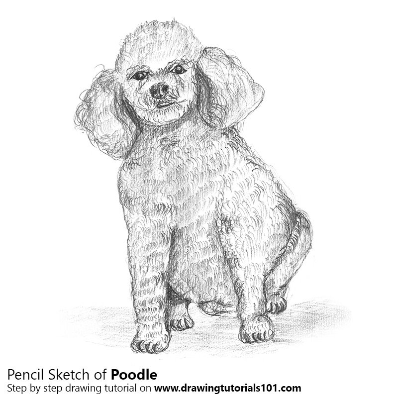 Poodle Dog Pencil Drawing How To Sketch Poodle Dog Using