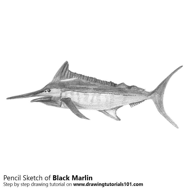 Pencil Sketch of Black Marlin - Pencil Drawing