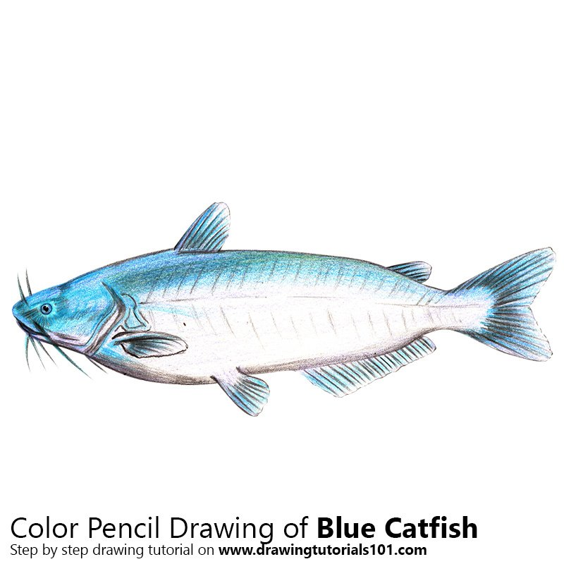 Blue Catfish Color Pencil Drawing