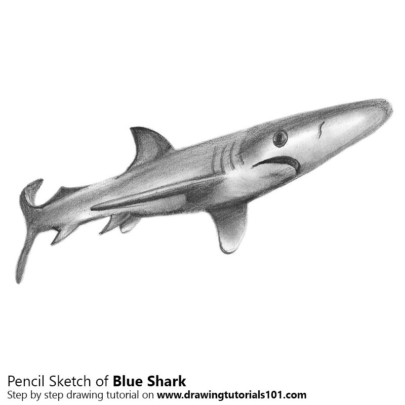 Pencil Sketch of Blue Shark - Pencil Drawing