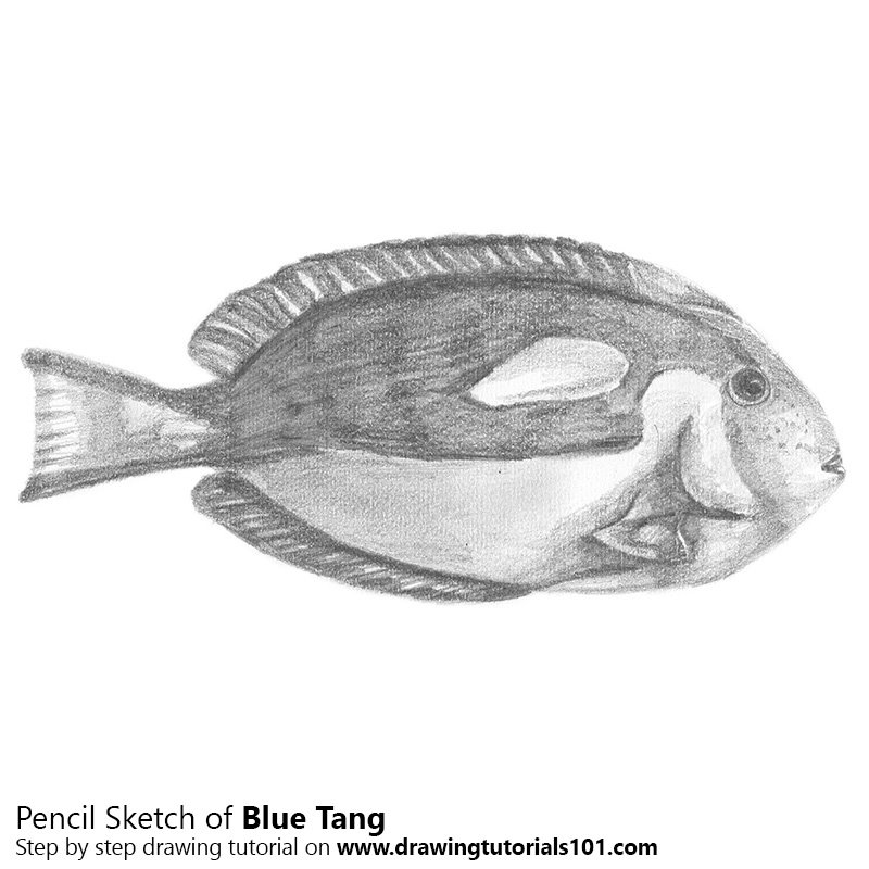 blue tang pencil drawing how to sketch blue tang using pencils
