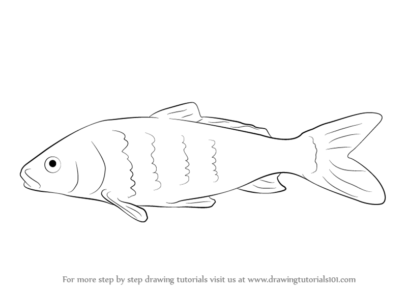 Carp fish drawing images galleries for How to draw fish