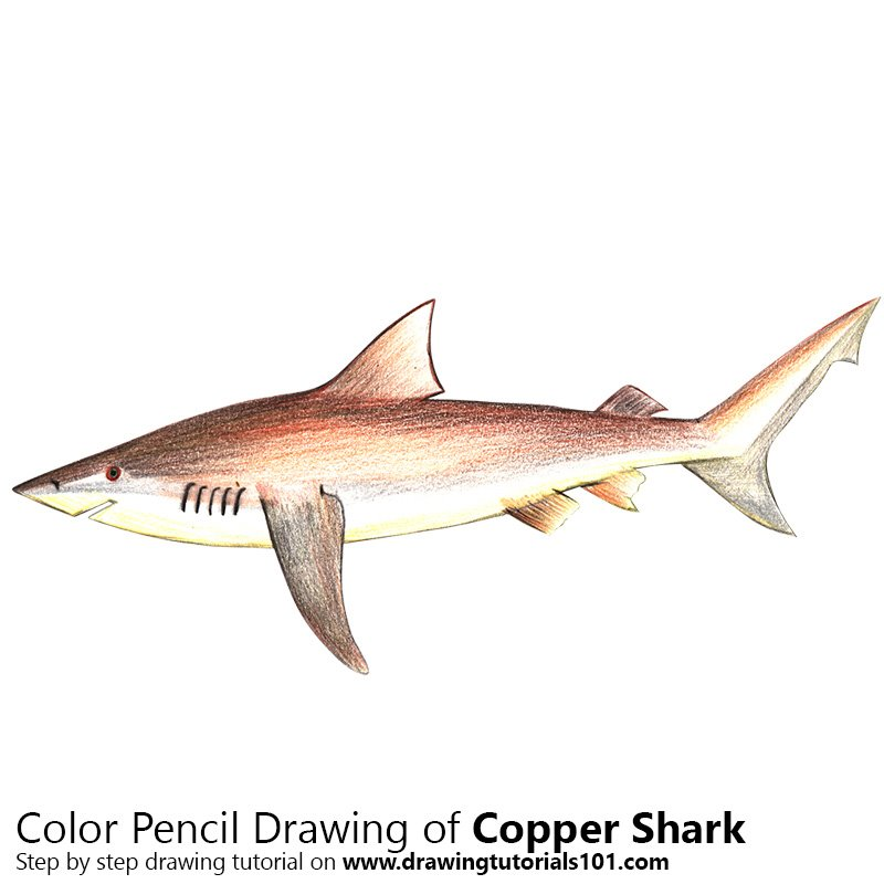 Copper Shark Colored Pencils - Drawing Copper Shark with Color ...