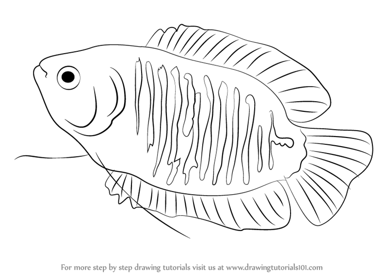learn how to draw a dwarf gourami fishes step by step drawing tutorials