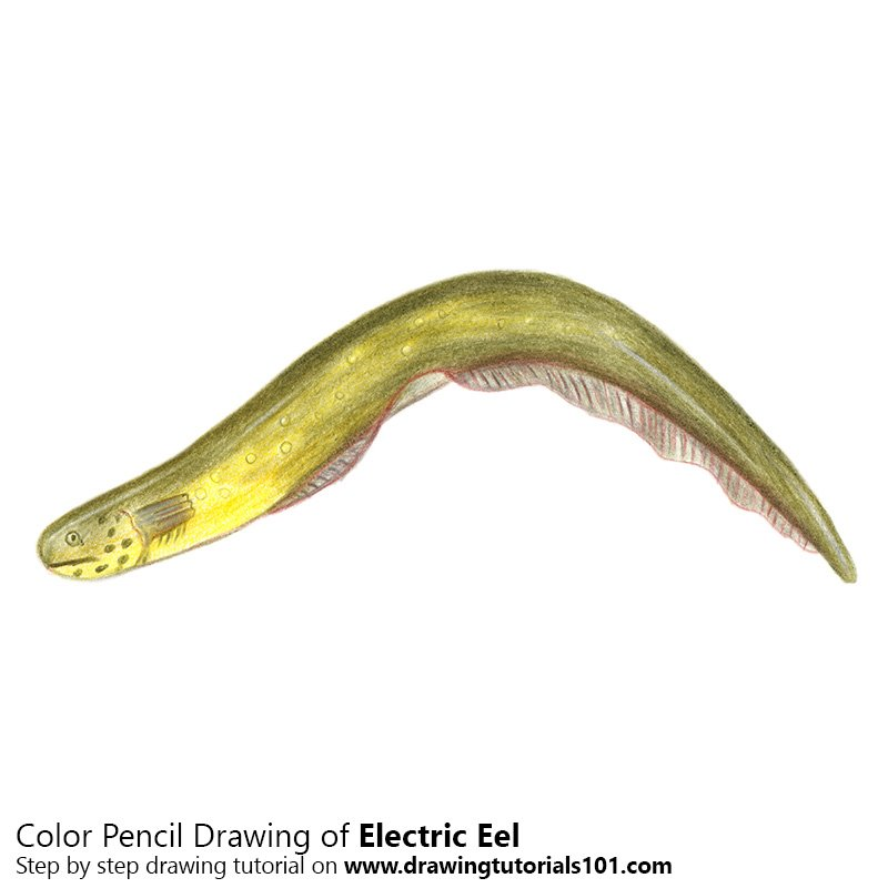 Electric Eel Colored Pencils - Drawing Electric Eel with ... - photo#3