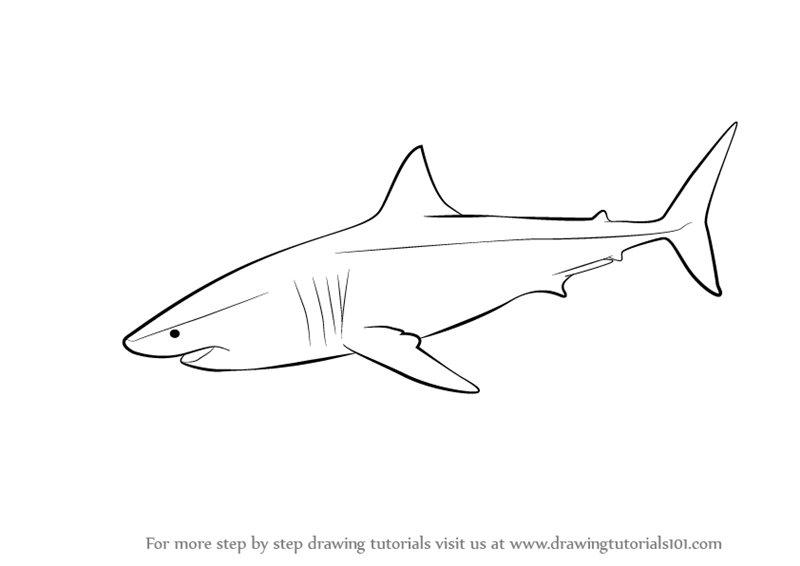 Learn How To Draw A Great White Shark Fishes Step By Step Drawing Tutorials