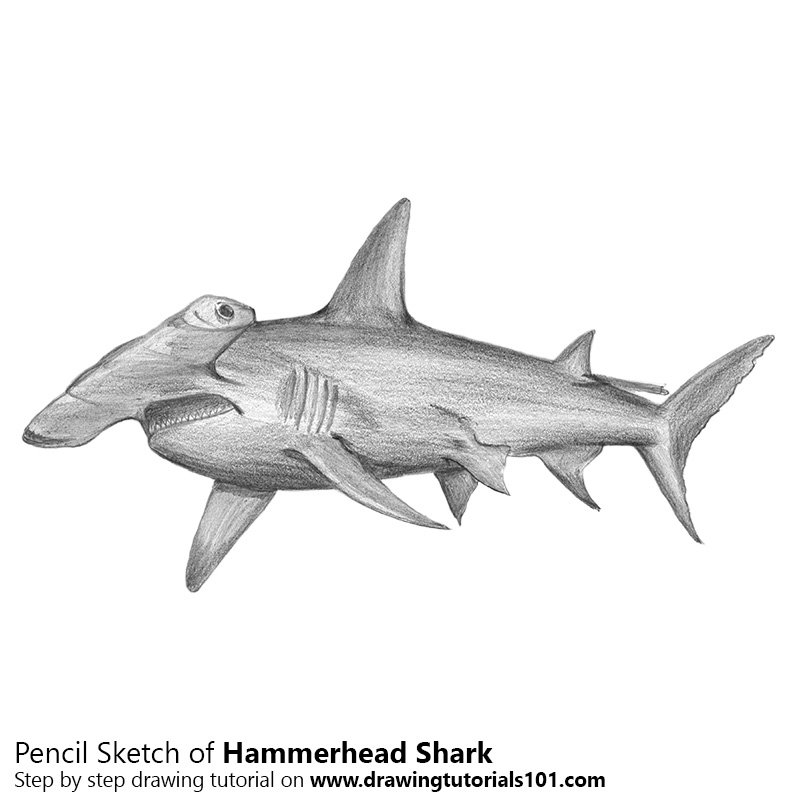 hammerhead shark pencil drawing how to sketch hammerhead shark using pencils drawingtutorials101com