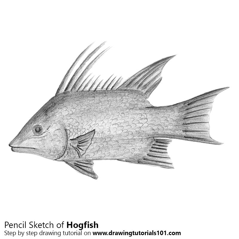 Pencil Sketch of Hogfish - Pencil Drawing