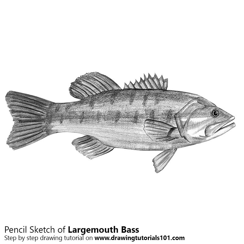 largemouth bass pencil drawing how to sketch largemouth