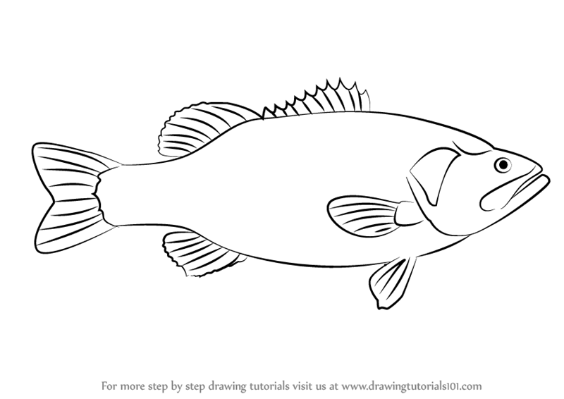 Learn How To Draw A Largemouth Bass Fishes Step By Step Drawing
