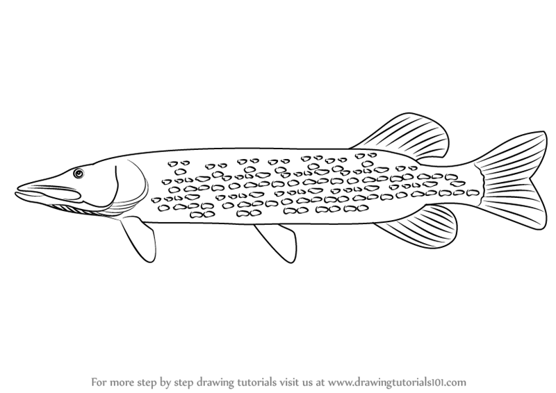 walleye coloring page - learn how to draw a pike fishes step by step drawing