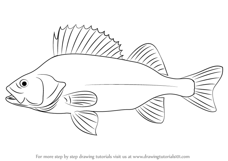 perch coloring pages - learn how to draw a perch fishes step by step drawing