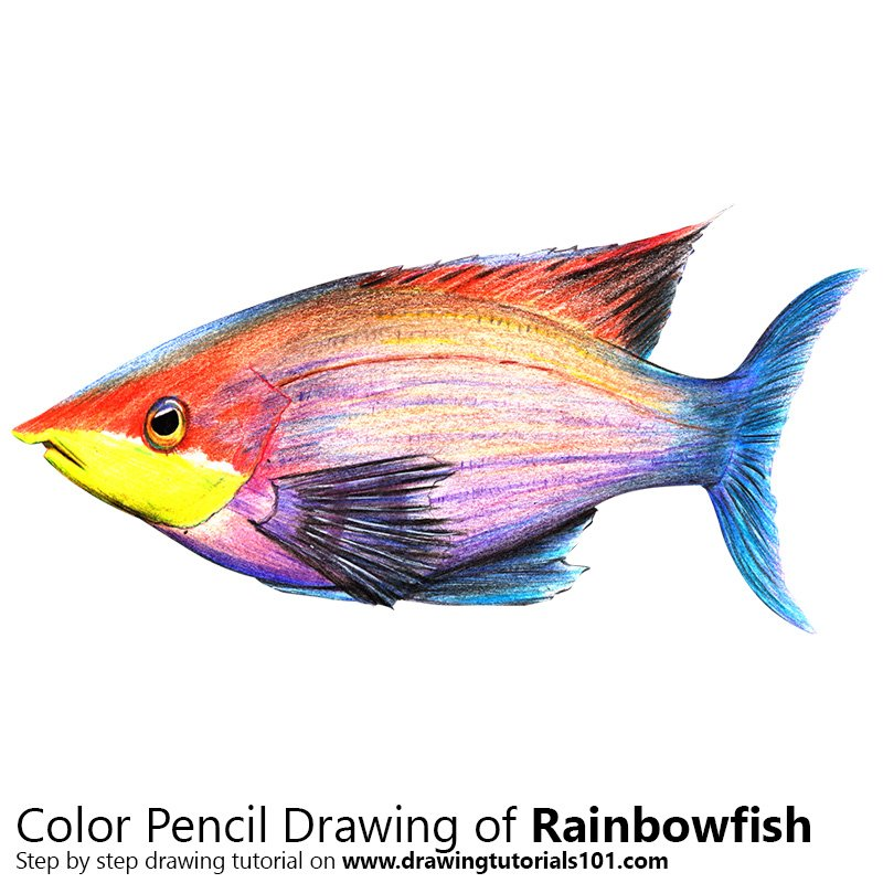 Rainbowfish Colored Pencils Drawing Rainbowfish With Color Pencils Drawingtutorials101 Com