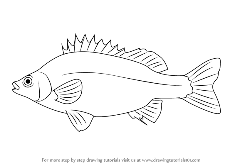 learn how to draw a silver perch  fishes  step by step