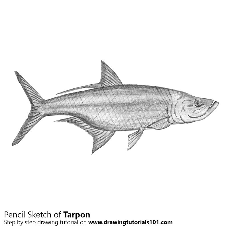 Tarpon Pencil Drawing ...
