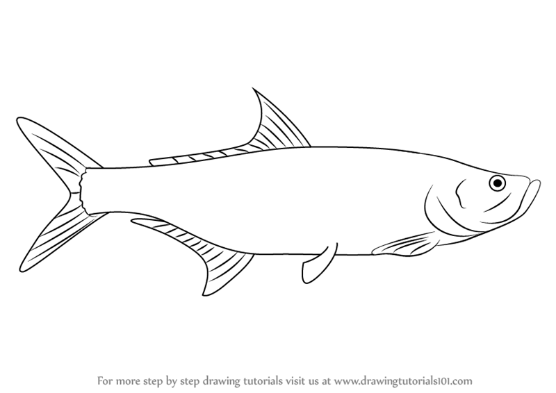 Learn How To Draw A Tarpon Fishes Step By Step Drawing