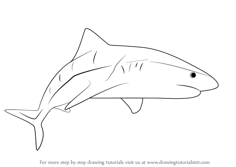 Learn how to draw a tiger shark fishes step by step drawing tutorials