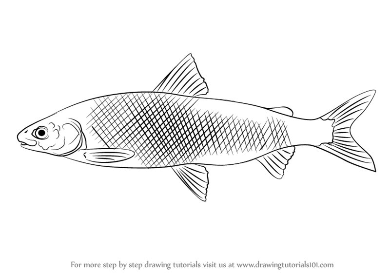 how to draw a sunfish