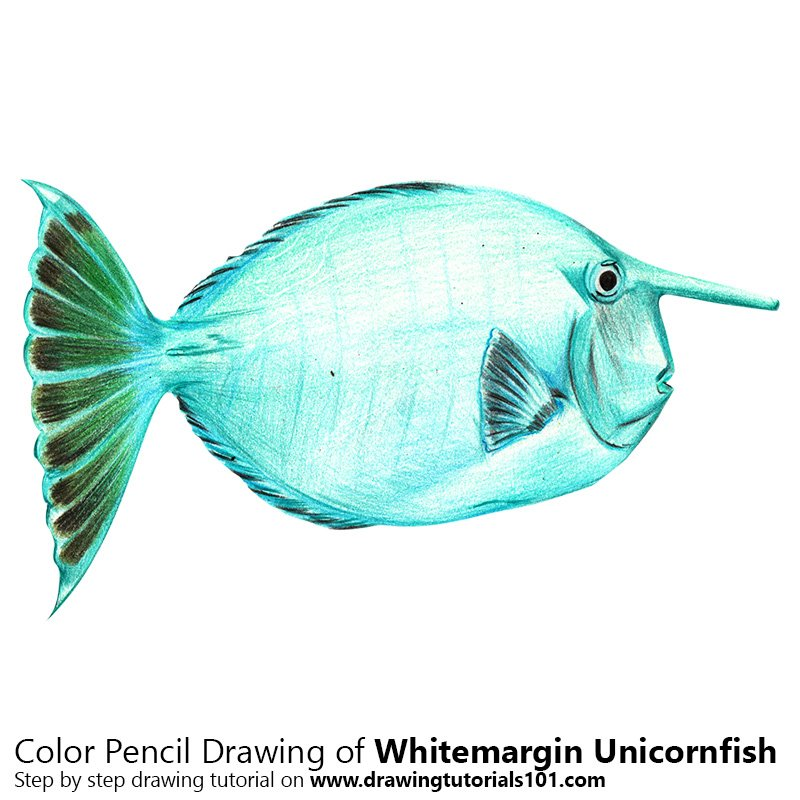 Whitemargin Unicornfish Color Pencil Drawing