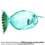 How to Draw a Whitemargin Unicornfish