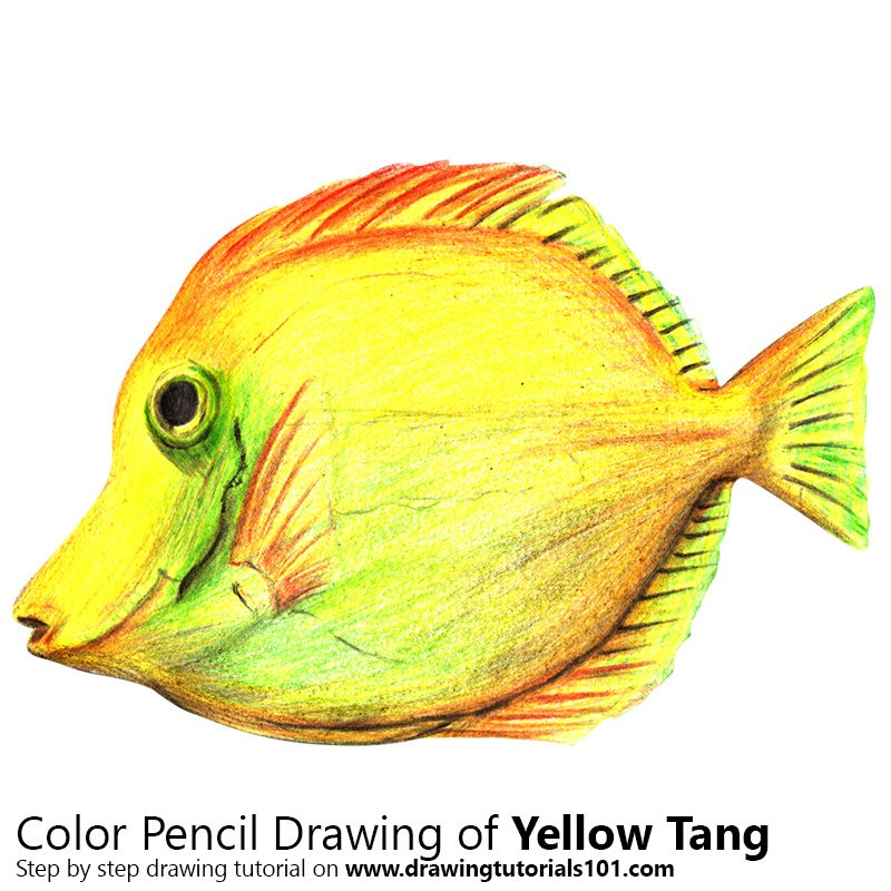 Yellow Tang Color Pencil Drawing
