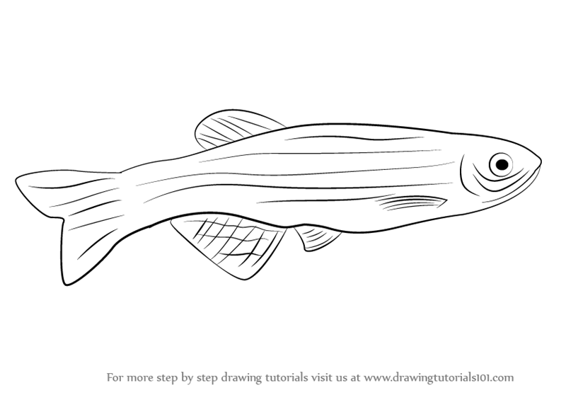 learn how to draw a zebrafish  fishes  step by step