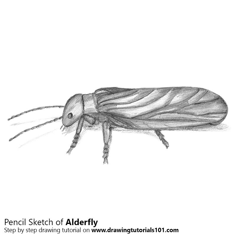 Pencil Sketch of Alderfly - Pencil Drawing