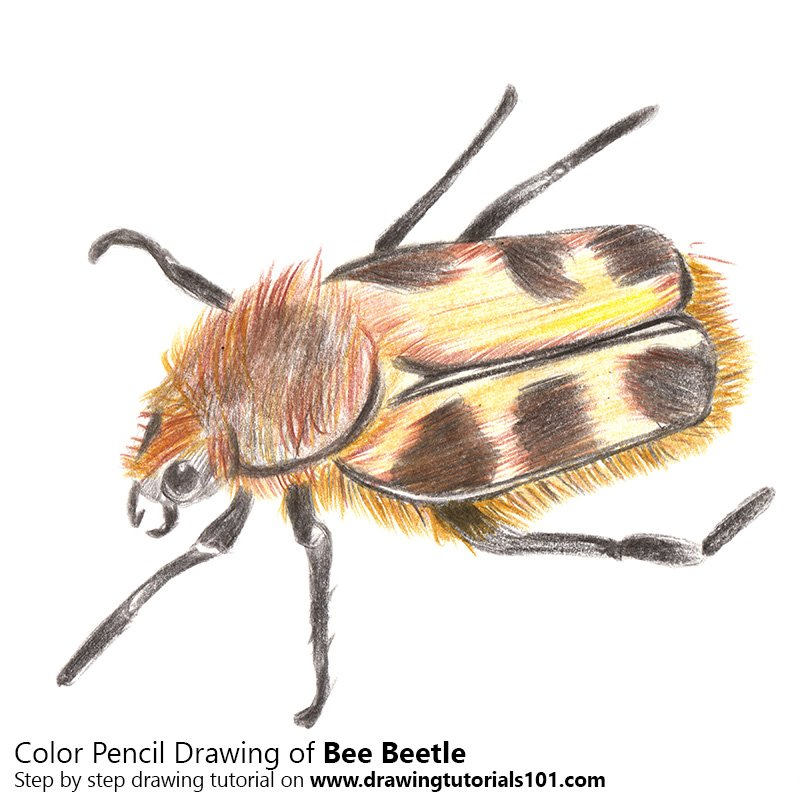 Bee Beetle Color Pencil Drawing