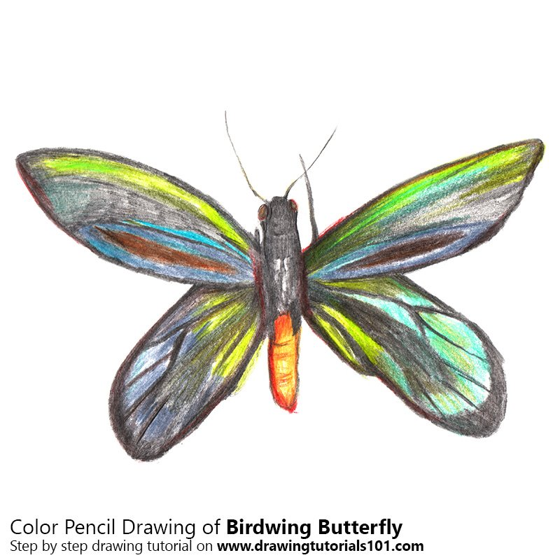 Birdwing Butterfly Color Pencil Drawing