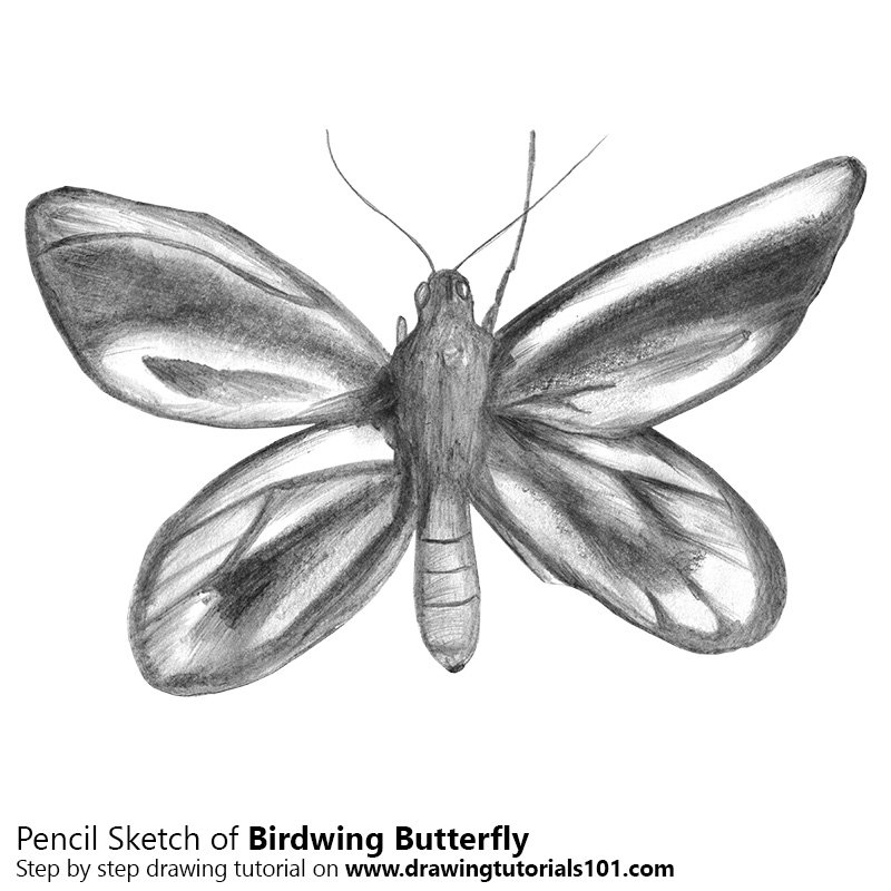 Birdwing butterfly pencil drawing how to sketch birdwing butterfly using pencils drawingtutorials101 com