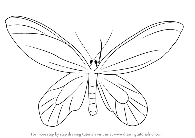 Learn How To Draw A Birdwing Butterfly Insects Step By